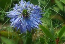 La nigelle : une plante médicinale trop méconnue
